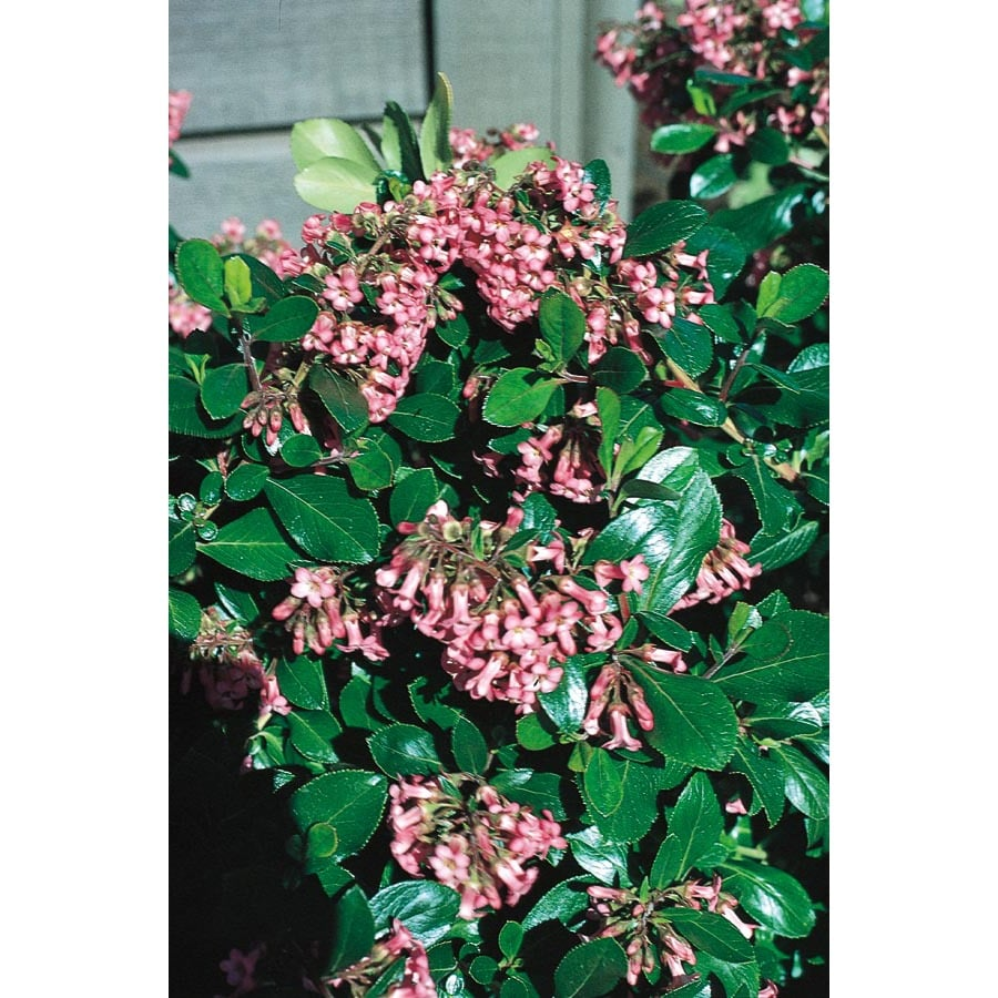 2.84-Quart Pink Dwarf Escallonia Flowering Shrub (L10575)