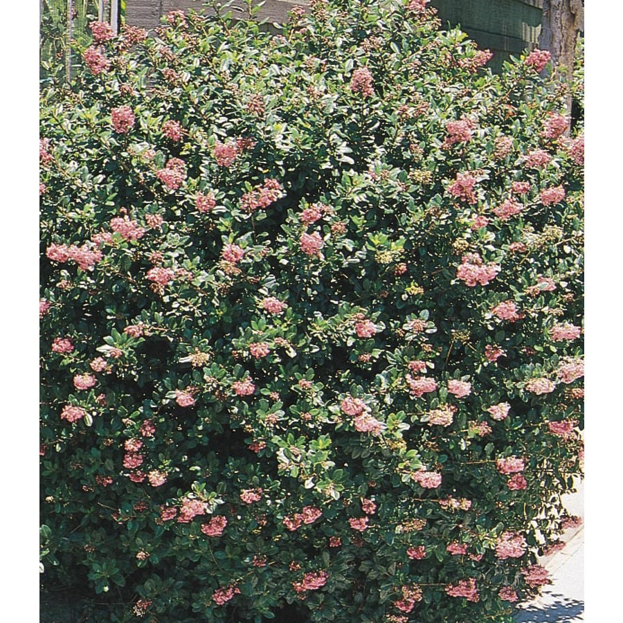 2.84-Quart Pink Pink Princess Escallonia Flowering Shrub (L7508)