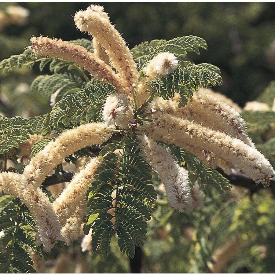 11.1-Gallon Honey Mesquite Feature Tree (L14932)