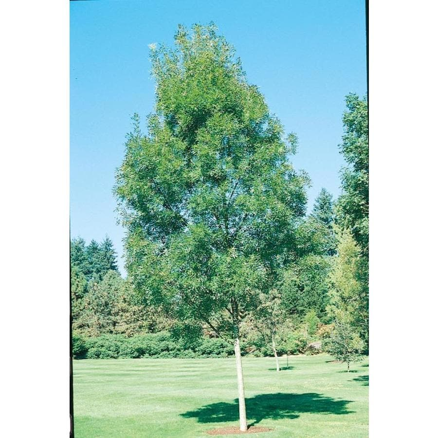 11.1-Gallon Raywood Ash Shade Tree (L3493)