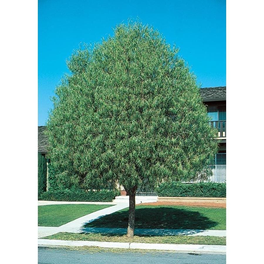 11.1-Gallon Australian Willow Shade Tree (L9406)