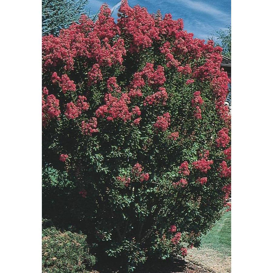 11.1-Gallon Crape Myrtle Flowering Tree (L6644)