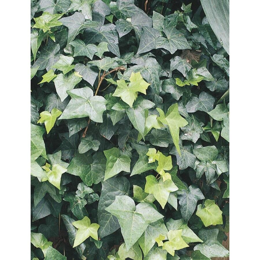 2.84-Quart English Ivy (L5369HP)