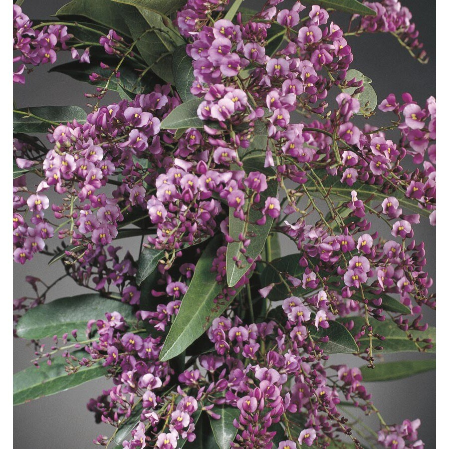 2.84-Quart Vine Lilac (L10538)