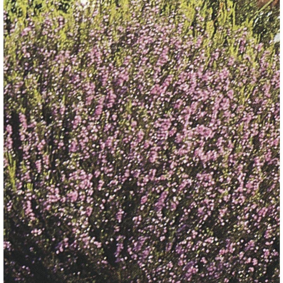 2.84-Quart Pink Breath of Heaven Flowering Shrub (L3084)