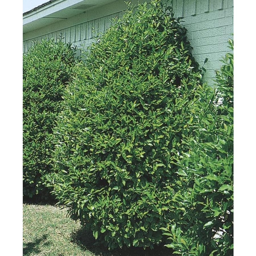11.1-Gallon Carolina Cherry Laurel Screening Tree (L11188)