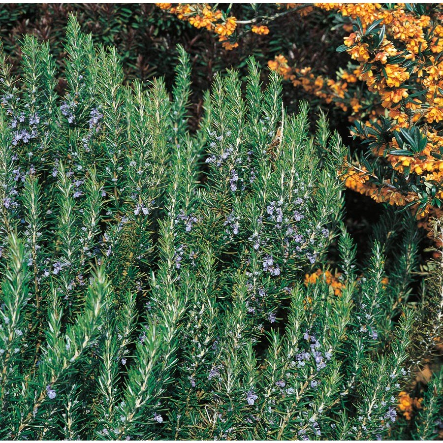 2.84-Quart Blue Rosemary Accent Shrub (L7037)