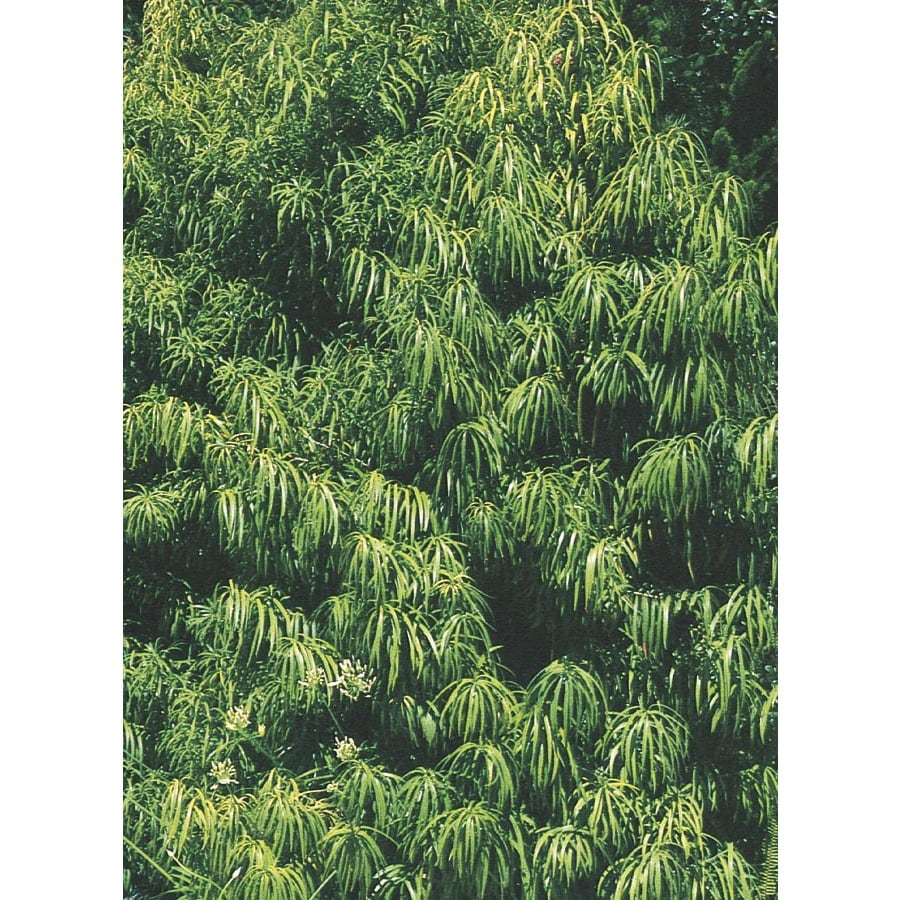 11.1-Gallon Long-Leafed Yellowwood Feature Tree (L11766)
