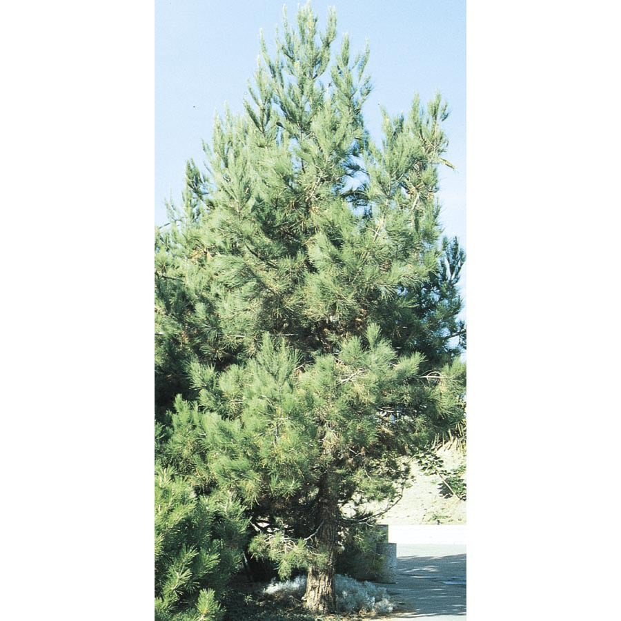 Shop 11 1 gallon eldarica pine feature tree l5148 at for Mature pine trees