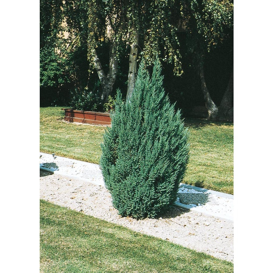 11.1-Gallon Blue Point Juniper Feature Shrub (L3785)