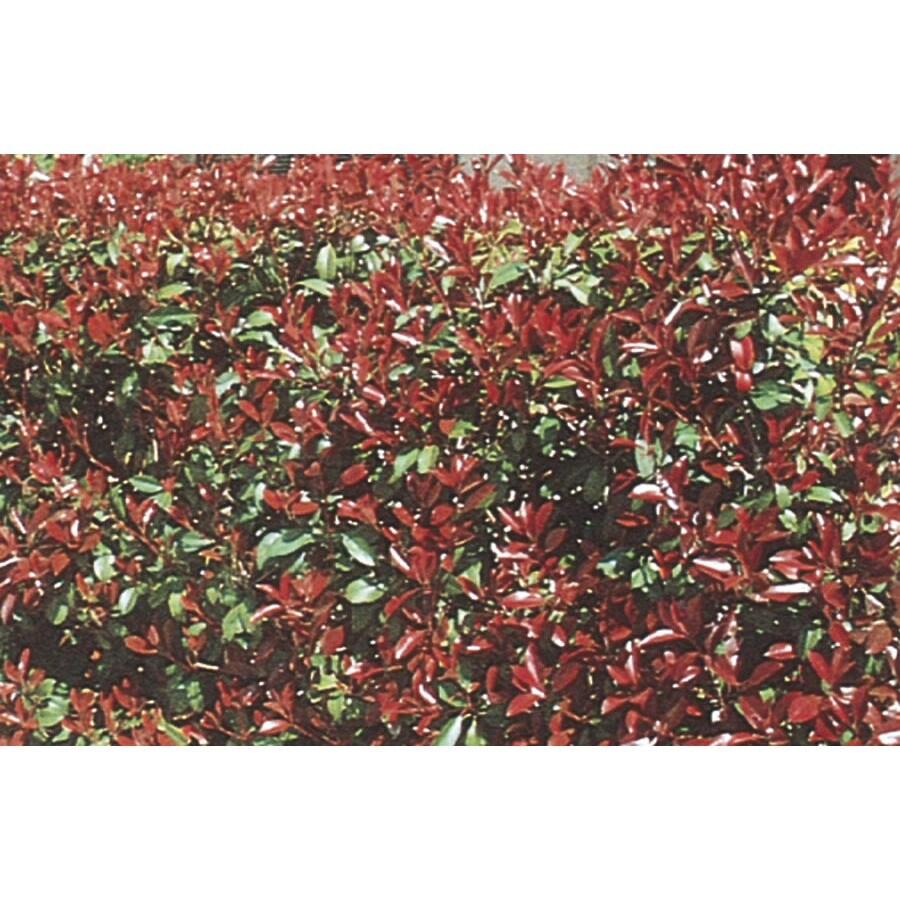 2.84-Quart White Red Tip Photinia Screening Shrub (L3049)