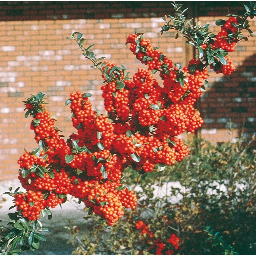 2.84-Quart White Pyracantha Accent Shrub (L4567)