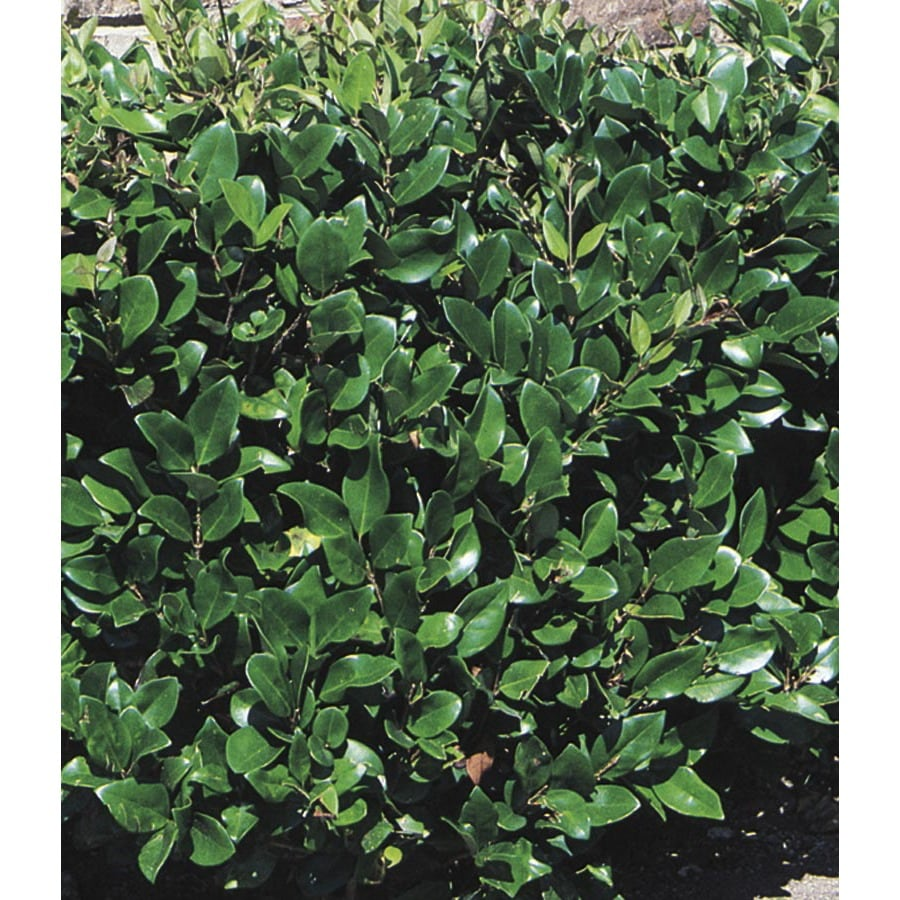 2.84-Quart White Waxleaf Ligustrum Foundation/Hedge Shrub (L3255)