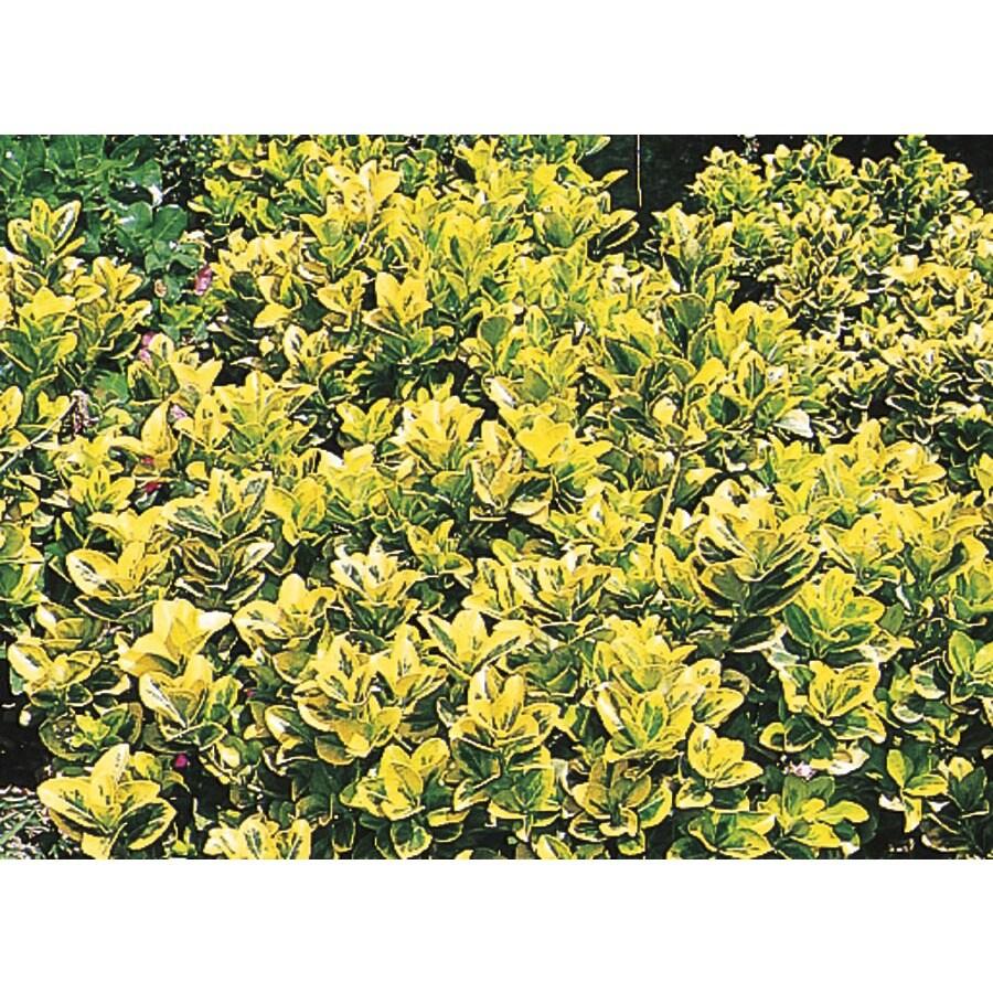 2.84-Quart Golden Euonymus Accent Shrub (L3159)