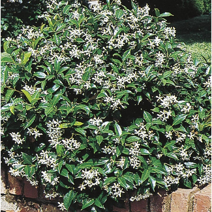 Shop White Confederatestar Jasmine Flowering Shrub In Pot With
