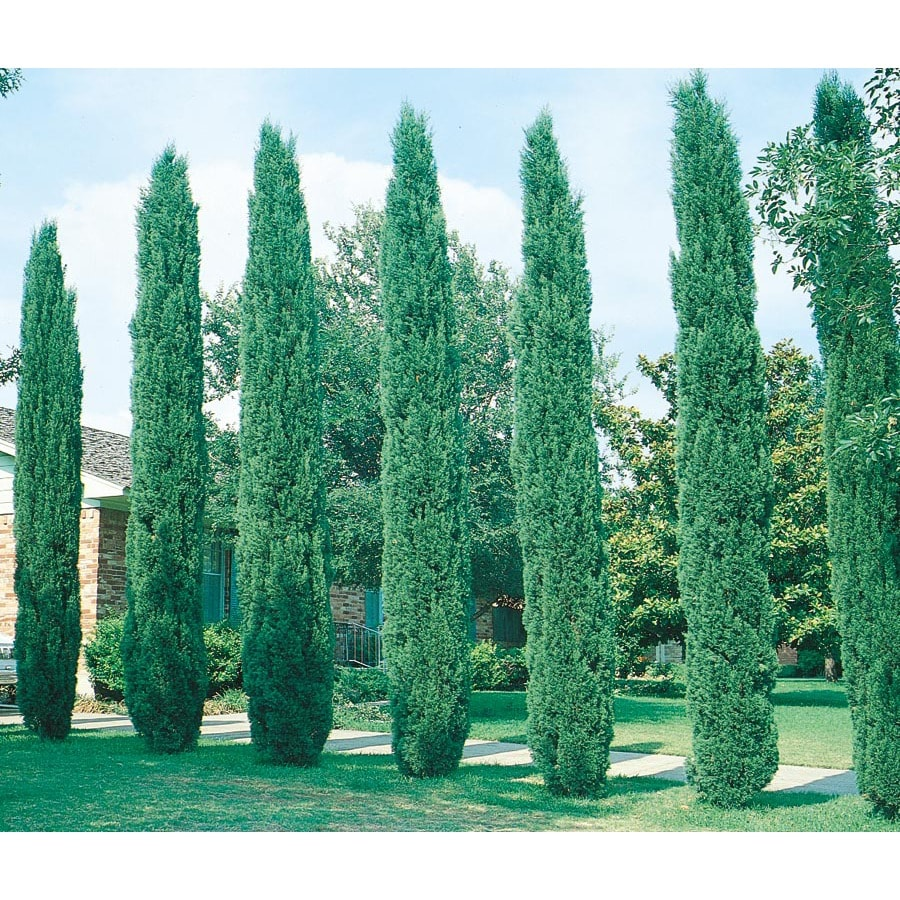 2.84-Quart Italian Cypress Feature Tree (L3291)
