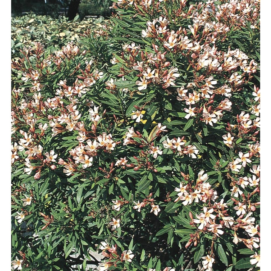 2.84-Quart Mixed Petite Oleander Flowering Shrub (L10435)