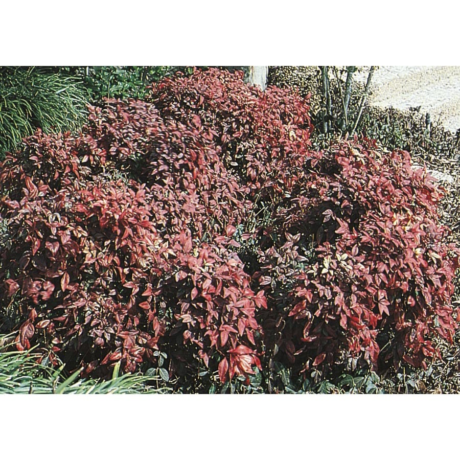 2.84-Quart Dwarf Heavenly Bamboo Accent Shrub (L9579)