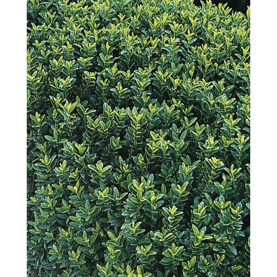 2.84-Quart Dwarf Green Euonymus Accent Shrub (L7388)