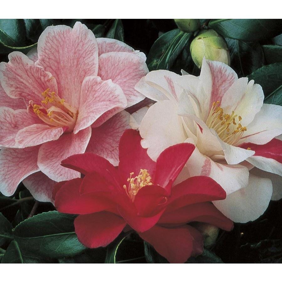 2.84-Quart Mixed Sasanqua Camellia Flowering Shrub (L5699)
