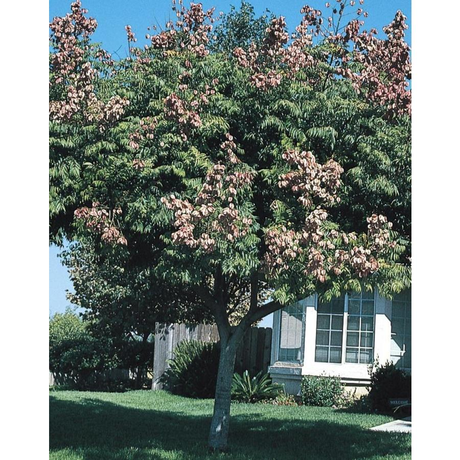 11.1-Gallon Golden Raintree Feature Tree (L1159)