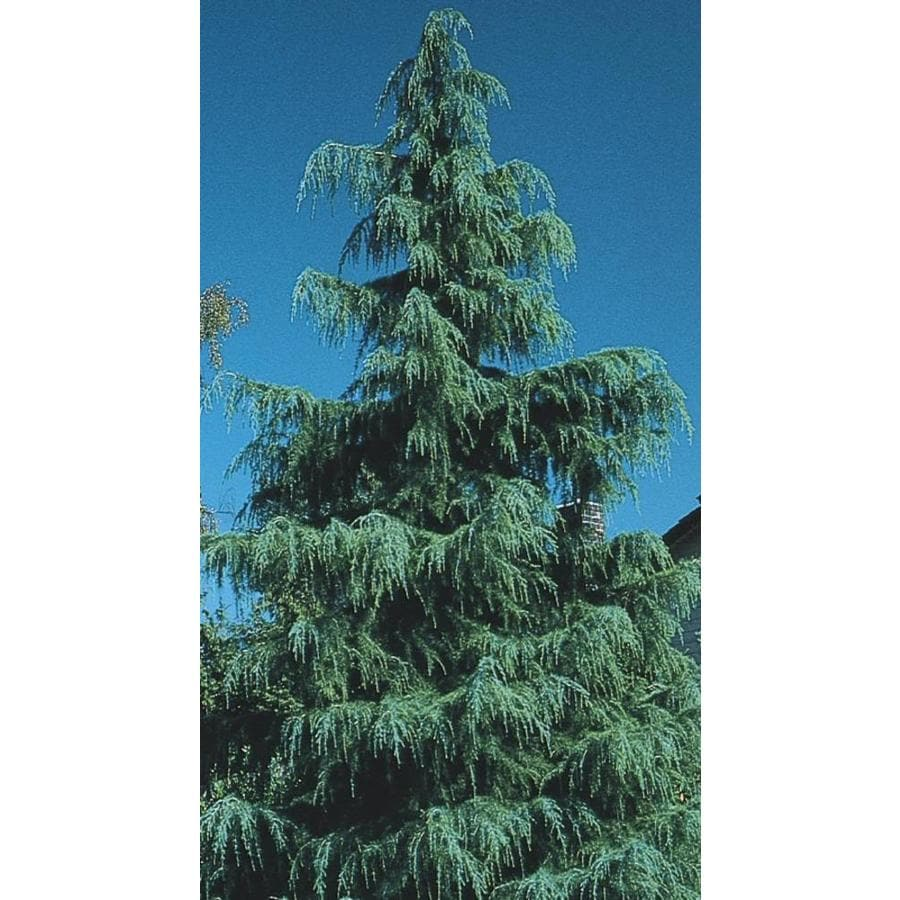 11.1-Gallon Deodar Cedar Feature Tree (L4674)