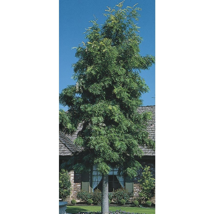 2.84-Quart Silk Oak Tree Shade Tree (L6315)