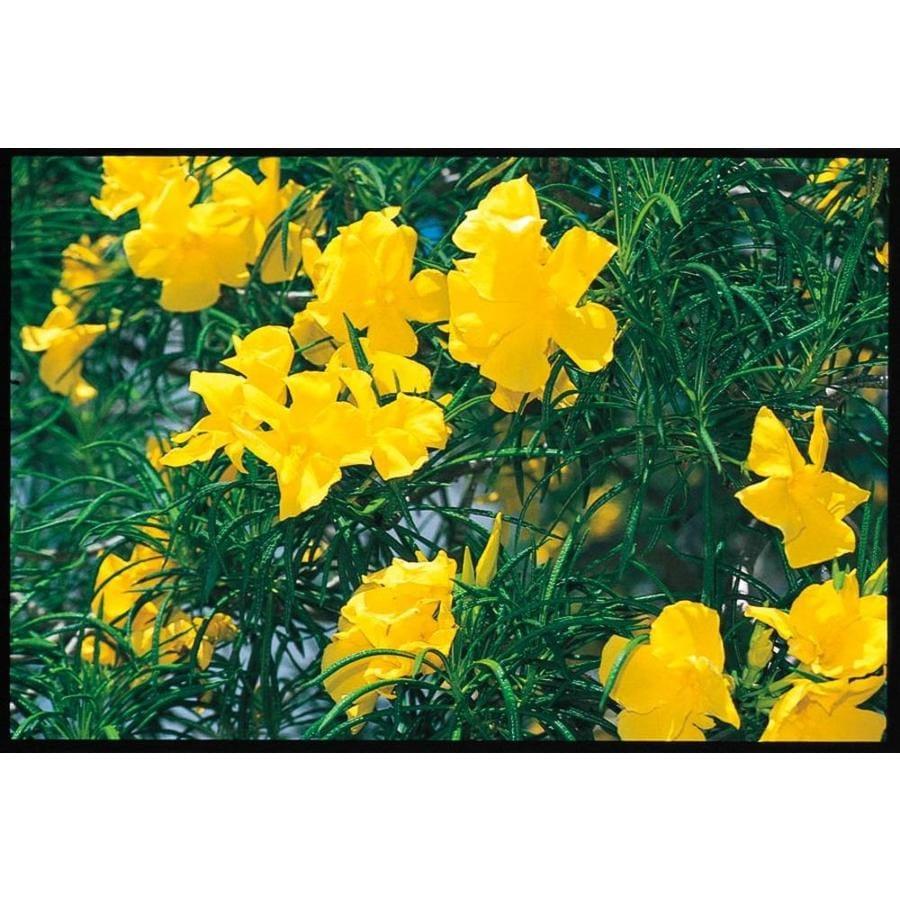 11.1-Gallon Yellow Oleander (L4144)