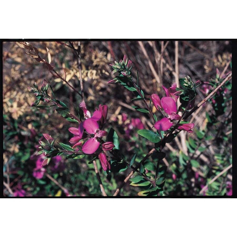 2.84-Quart Purple Sweet Pea Bush Flowering Shrub (L7149)