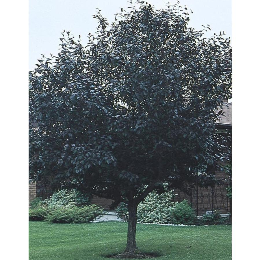 11.1-Gallon Purpleleaf Plum Flowering Tree (L1096)