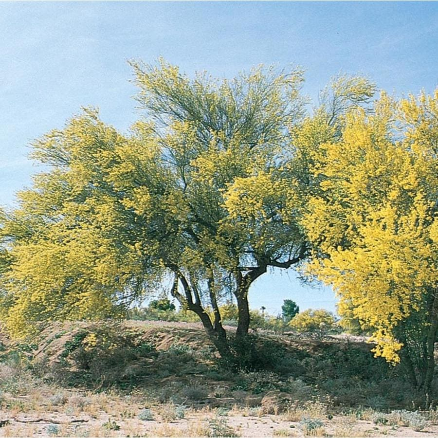 28.6-Gallon Blue Palo Verde Feature Tree (L4007)
