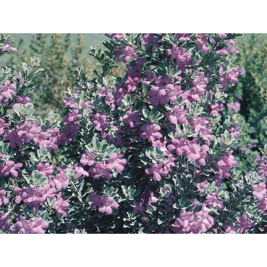 11.1-Gallon Purple Texas Sage Flowering Shrub (L3562)