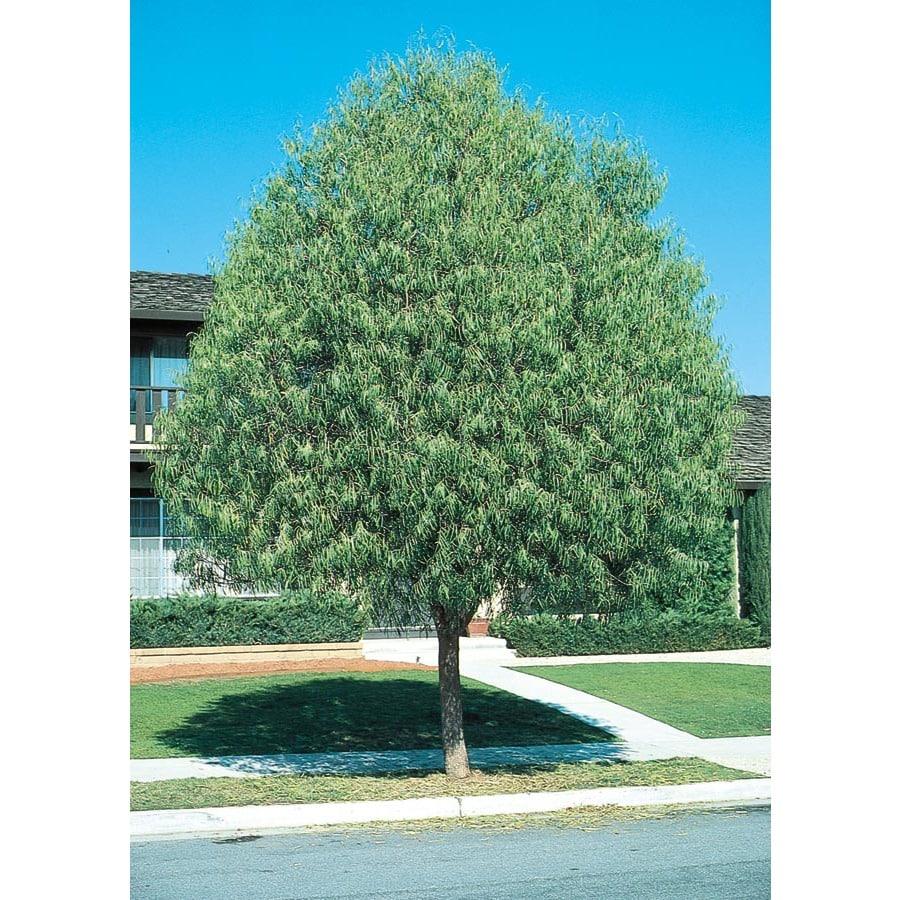 11.1-Gallon Desert Willow Shade Tree (L1105)