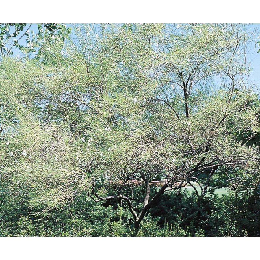 11.1-Gallon Chitalpa Flowering Tree (L11705)