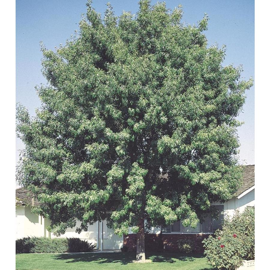 11.1-Gallon Fan-Tex Ash Shade Tree (L1051)
