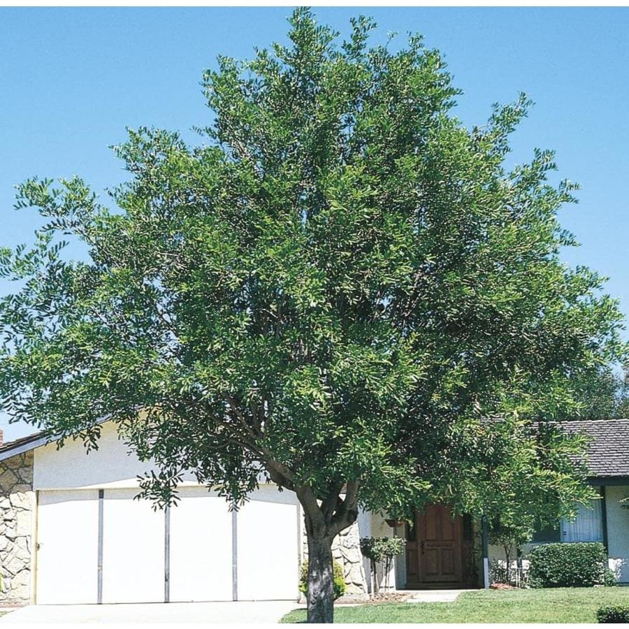 11.1-Gallon Carrotwood Tree Shade Tree (L9395)