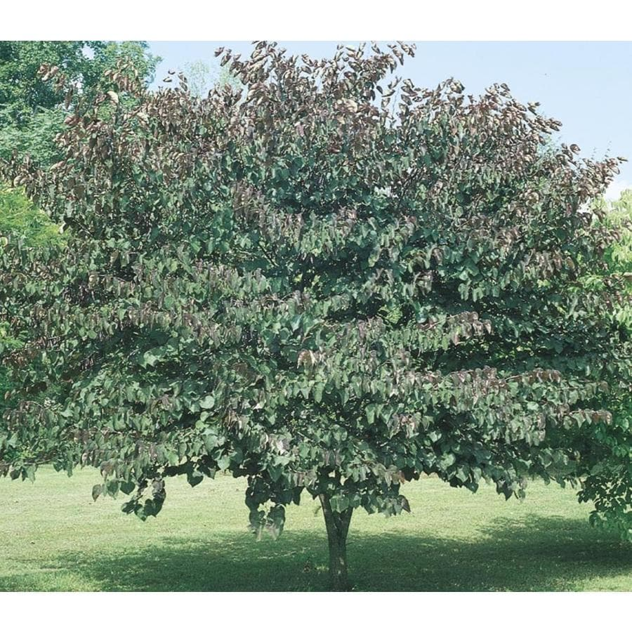 11.1-Gallon Forest Pansy Redbud Flowering Tree (L1071)