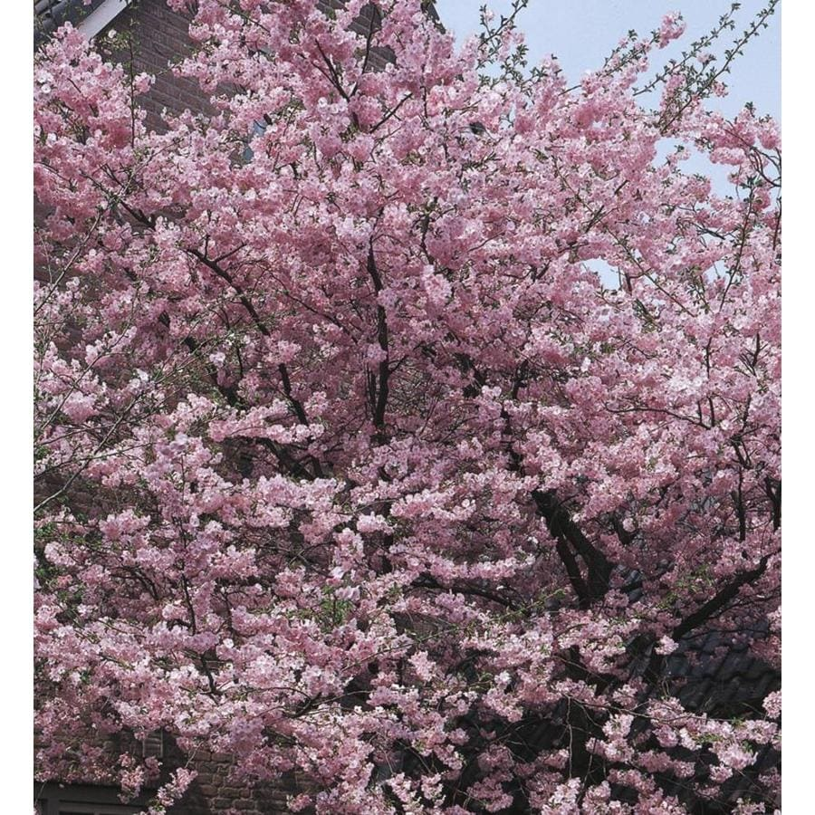 11.1-Gallon Kwanzan Flowering Cherry Flowering Tree (L1023)