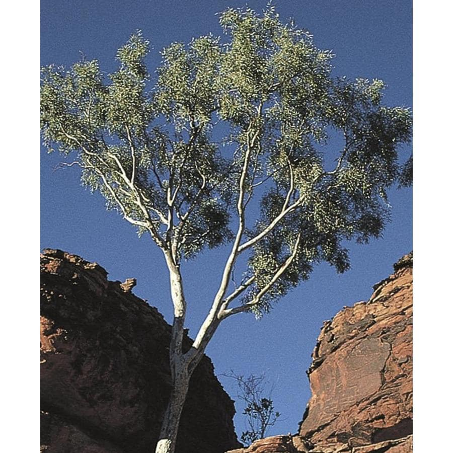 11.1-Gallon Ghost Gum Shade Tree (L14900)