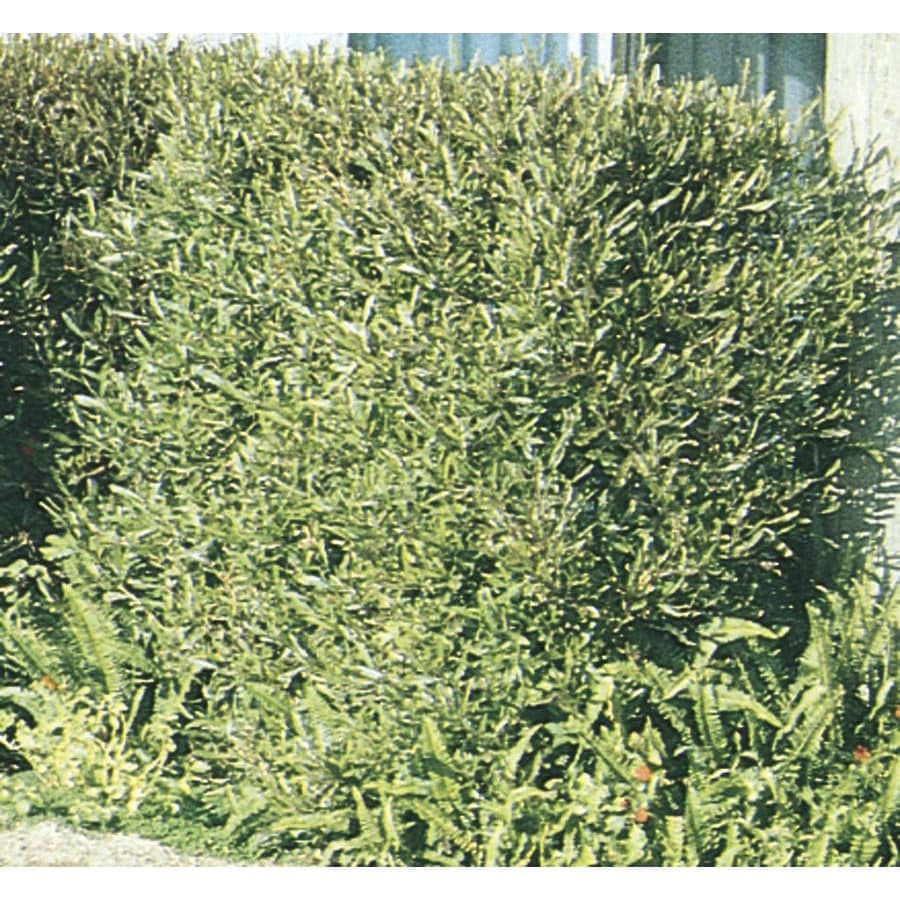 11.1-Gallon Hopseed Bush Screening Shrub (L14895)