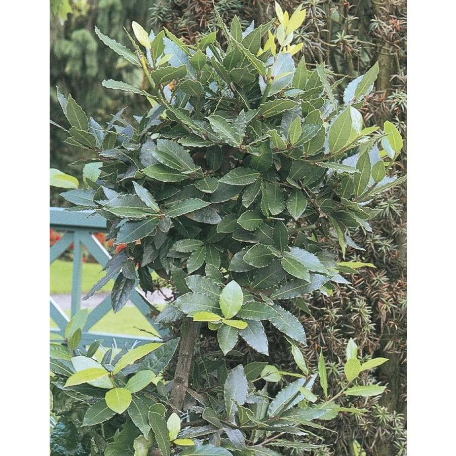 11.1-Gallon Bay Laurel (L8924)