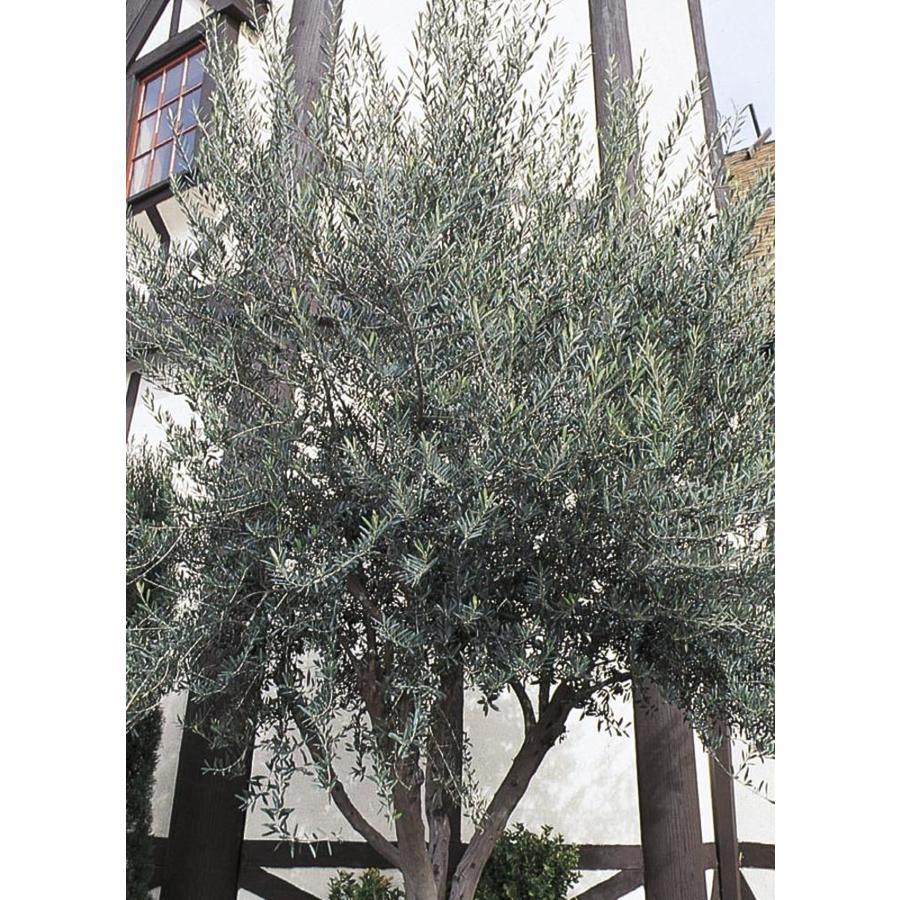 11.1-Gallon European Olive Feature Tree (L14921)