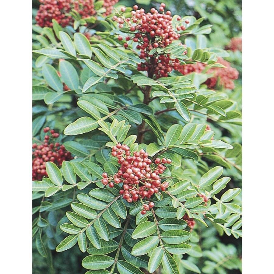 11.1-Gallon Brazilian Pepper Shade Tree (L9430)