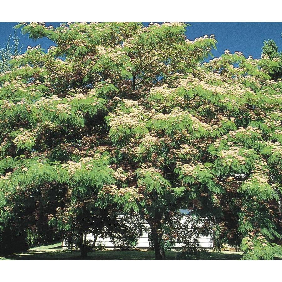 11.1-Gallon Mimosa Tree Flowering Tree (L1103)