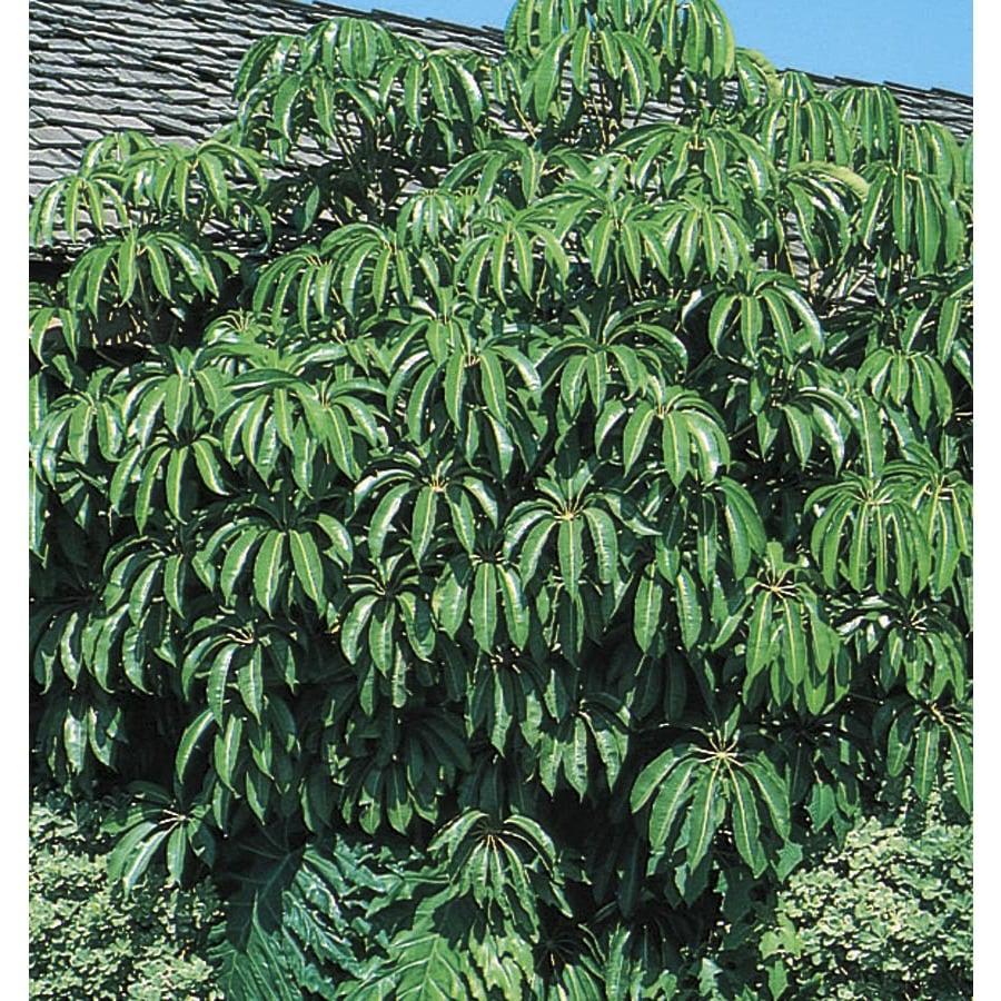 11.1-Gallon Tupidanthus Feature Tree (L5959)