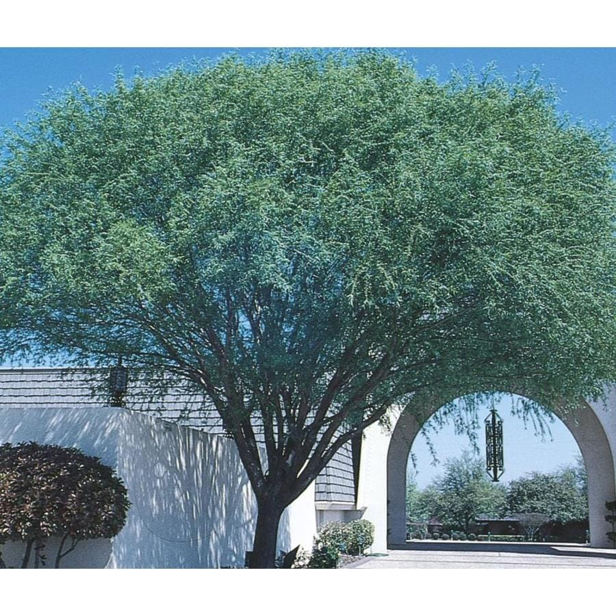 11.1-Gallon Navajo Globe Willow Shade Tree (L3742)