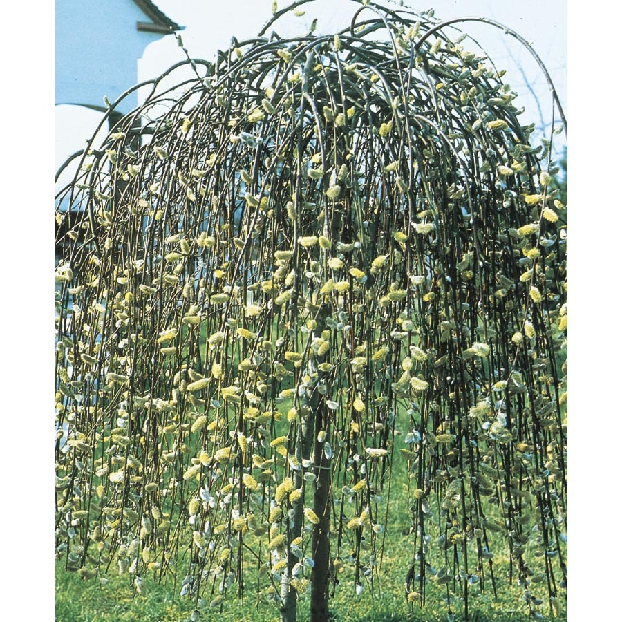 11.1-Gallon Yellow Weeping Pussy Willow Tree Feature Shrub (LW01654)