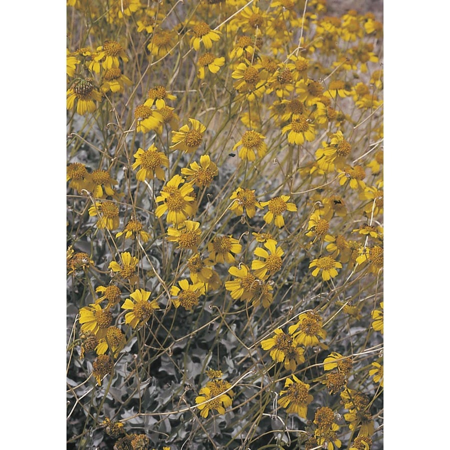 2.84-Quart Yellow Brittle Bush Accent Shrub (L11718)