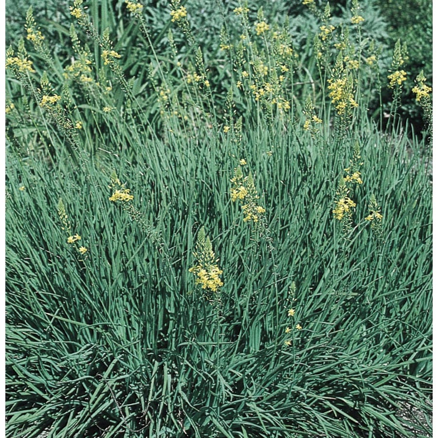 2.84-Quart Orange Bulbine (Lw03003)