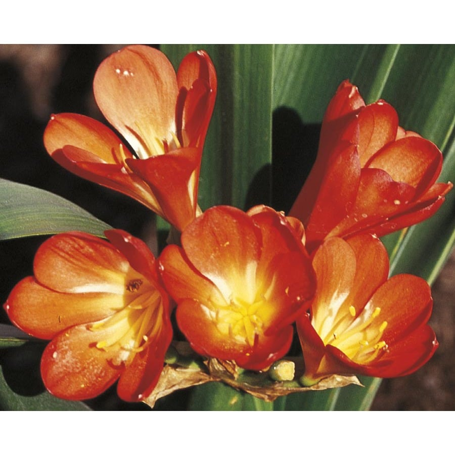 2.84-Quart Orange Kaffir Lily (LW01888)